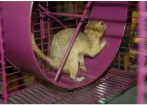 Squirrel on a hamster wheel